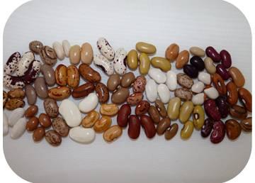 Imagem ilustrativa do feijão português do estudo realizado por investigadores do ITQB NOVA
