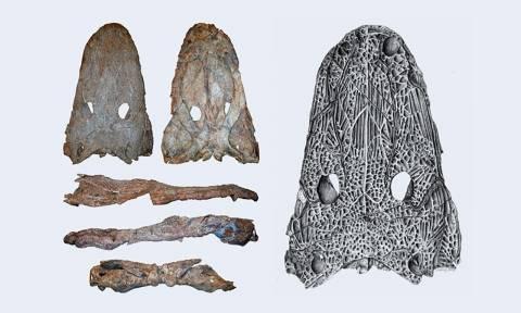 Fotografia das ossadas do Maior Anfíbio Fóssil da Gronelândia